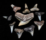 Ten Fossil Shark Teeth, Colorado found